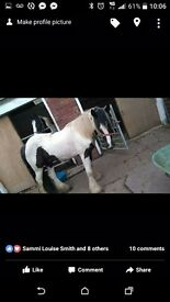 Cob gelding for sale or full loan