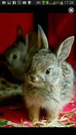 Netherland dwarf female bunny