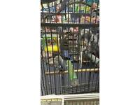 Tame and talking African grey parrot