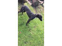 Wheaton saluki bull greyhound