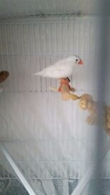 White finch for sale