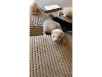 Ferret Kits for sale - Ready now - Silvers and albino