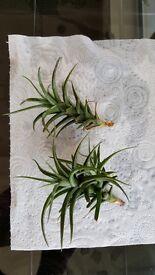 Air Plants x 2 (Tillandsia) - Ideal and unusual house plants !