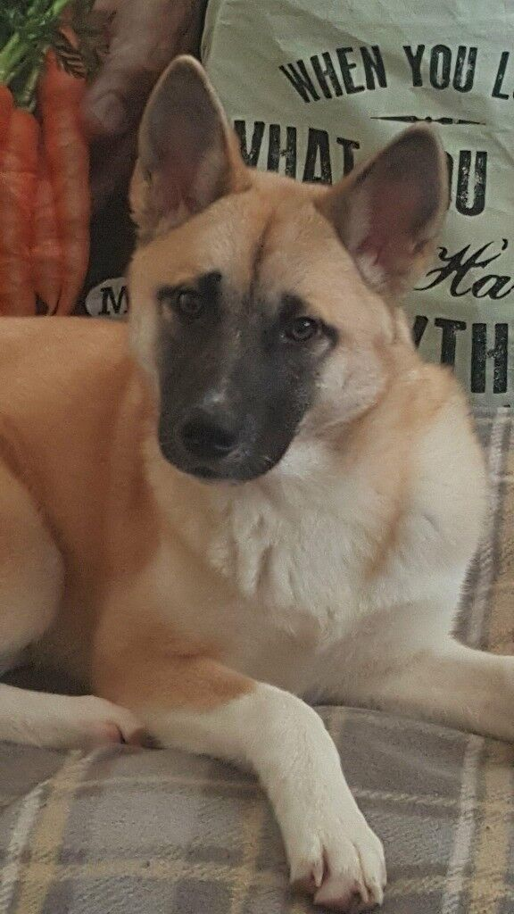0d82f984cdbc3 8 Month Old Japanese Akita | in Newcastle-under-Lyme, Staffordshire ...