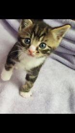 Beautiful oriental blue x tabby kittens