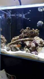 Marine Fish. 3 Cloudy Damsels and 1 Tomato Clown