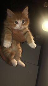 British Longhair Ginger Tabby