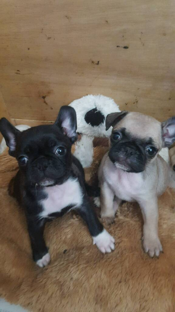 Pug cross French bulldog puppies