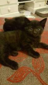 Beautiful Black Kittens**ready 30th Jan**deposits taken now**