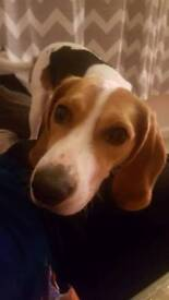 Beagle needs a new home