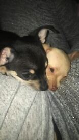 Toy Chihuahua puppies for sale!