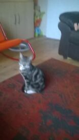 3 tabby kittens free to good home all very friendly and trained very affectionate tel 07914080211