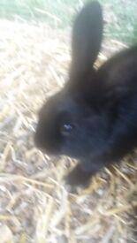6 black rabbits for sale