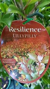 Instant Hedge - Resillience Lillypillies - Over 1 metre tall! Park Ridge Logan Area Preview
