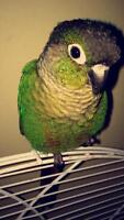 Hand Fed Green Cheeked Conure