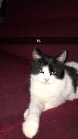 White cat black patches free to good home