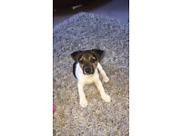 REDUCED PRICE 12 week old miniature jack Russell