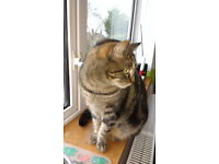 Female tabby cat needs a new loving home