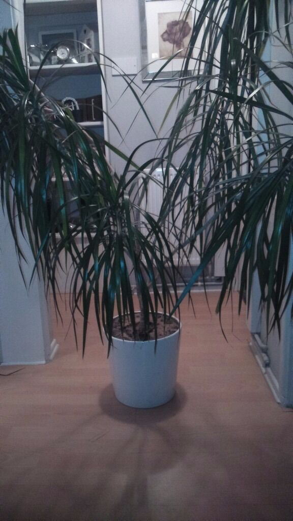 Free free free, House plantin Newcastle under Lyme, StaffordshireGumtree - Free plant .. To big for the flat no room, Mrs or plant, and Mrs won ) so its gotta go