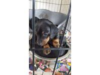For sale dashund pups