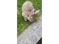 5 month old giant rabbit