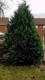 Tree 3m high