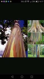 Rainbow eucalyptus seedling