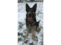 Fully trained German shepherd for sale