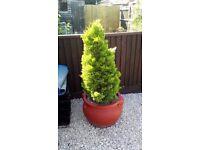 2 conifer bush's