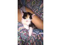 Beautiful female kitten for sale!
