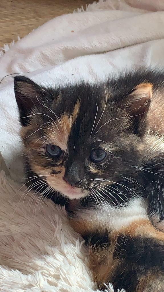Kitten For Sale In Willesden London Gumtree