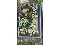 8 pots of raddish seedlings