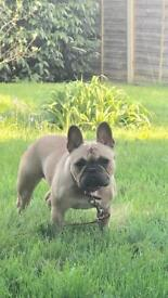 Gorgeous kc French bulldog