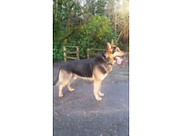 Handsome German Shepherd Dog. Black and Gold. 2 years 6 months old.