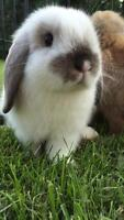 Last adorable female baby holland lop for sale!