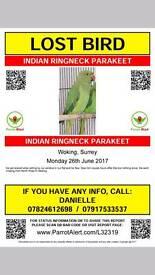 Missing Green indian ringneck parakeet