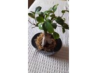 Ficus gensing bonsai tree approx 23cm tall. Good condition and healthy in black ceramic pot.