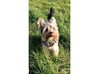 3 year's old Yorkshire Terrier Boy