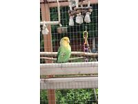 MISSING Peach faced lovebird (green with orange face)