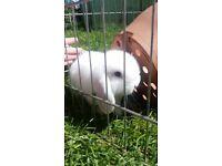 Mini lop rabbits available