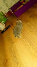 Lop ear bunnie 2 months old with double hutch