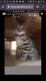 Beautiful bengal female kitten