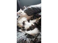 White 6 month old kitten