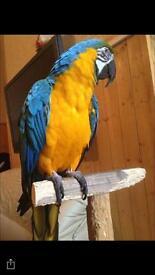 BLUE N GOLD MACAW PARROT TAME N TALKING