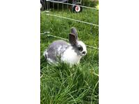 Grey/White Baby Rabbit - Female with or without hutch