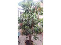 Ficus Binnendijkii 'ALI' Long Leaved - House Plants
