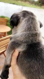 Pug puppy full pedigree last one