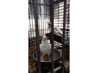 Pet pigeons