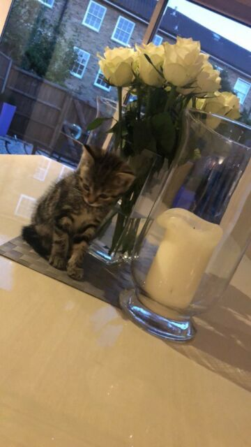 Rare Medium Haired Grey Tabby/Bengal Kitten for Sale   in Angel, London    Gumtree