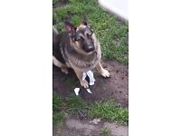 Pet dog German Shepherd